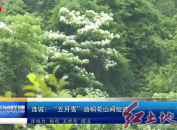 """连城:""""五月雪""""油桐花山间绽放"""