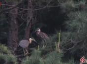 """全世界30种最濒危鸟类之一的海南鳽""""生儿育女""""在福建长汀被发现"""