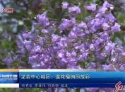 龙岩中心城区:蓝花楹绚丽放彩