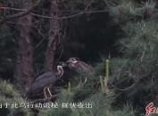 """全世界30種最瀕危鳥類之一的海南鳽""""生兒育女""""在長汀發現"""