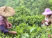 以茶为媒  助推生态茶产业发展