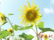 连城:培田古村落向日葵进入盛花期