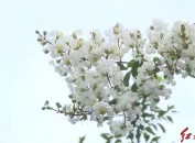 龙岩中心城区:白色紫薇花娇艳绽放