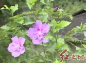 漳平灵地:发展木槿花产业 打造木槿花之乡