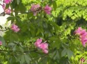 龙岩中心城区:美丽异木棉盛开粉如霞