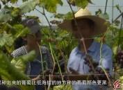 """葡萄成群众增收致富""""金果子"""""""