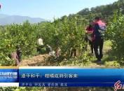 漳平和平:柑橘成熟引客来