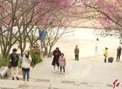 漳平市(2020)第九届樱花文化旅游节开幕