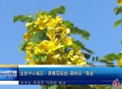 """龙岩中心城区:黄槐花绽放 满树挂""""黄金"""""""