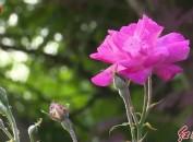 龙岩中心城区:粉色月季花盛情绽放