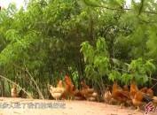 立足河田鸡产业打响金子招牌