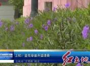 上杭:蓝花草盛开溢清香