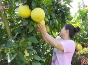 上杭稔田:1.9万亩蜜柚丰收采摘正当时 蜜柚产业拓宽新路