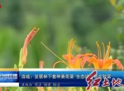 连城:发展林下套种黄花菜 生态经济助农致富