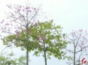 上杭:美丽异木棉 绚烂满枝头