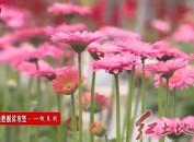 连城林坊:持续实施鲜切花种植项目稳固脱贫成果致富奔小康