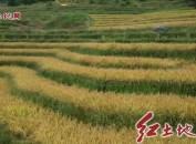 新罗万安镇:千亩大冬稻喜获丰收