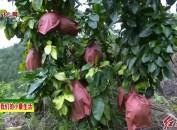 武平中赤:千亩蜜柚喜丰收 农民致富有奔头