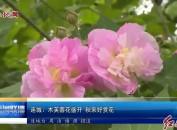 连城:木芙蓉花盛开 秋来好赏花