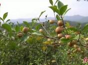 上杭官庄畲族乡:万亩油茶喜获丰收