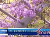 上杭:紫藤花廊迎春开 汀江绿道春意浓