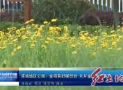 连城城区公园:金鸡菊舒展怒放 片片金黄点亮春天