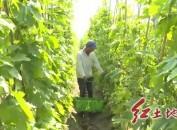 漳平西园:苦瓜丰产 俏销市场