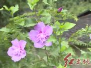 漳平靈地:發展木槿花產業 打造木槿花之鄉