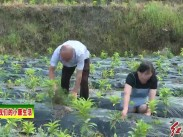 连城赖源:培育中草药种植 拓宽产业富民路