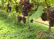 永定培丰:举办首届葡萄采摘节 ?打造乡村旅游新亮点