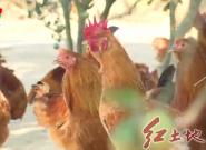 福建优良种鸡——武平象洞鸡