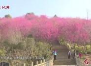 漳平:樱花盛开游客纷涌而至