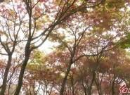 连城:红枫正艳遍染山间