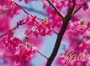 漳平永福樱花园樱花盛放景美如画