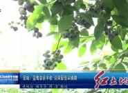 连城:蓝莓喜获丰收迎来最佳采摘期