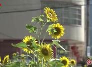 连城:向日葵热情绽放盛夏美景如画