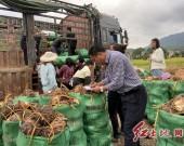 上杭县南阳镇——槟榔芋种植助力贫困户脱贫致富
