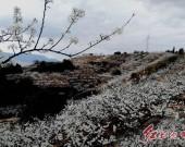 福建连城县四堡镇——满山李树花似雪,游客纷至赏美景