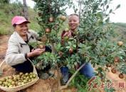 连城县罗坊乡益联家庭农场山茶油喜获丰收