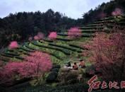 连城县赖源乡黄宗村樱花盛开吸引众多游客