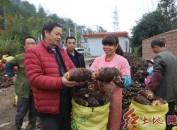 连城县罗坊乡上罗村槟榔芋产业助农民增收