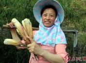 """连城县农民上山釆挖食用苦笋自找""""苦""""吃"""