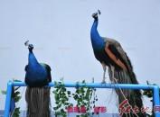 这个周末,到龙岩市博物馆观赏鹦鹉、看孔雀、学骑马,是不错的选择