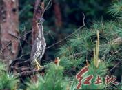 """""""世界最神秘的鸟""""海南鳽在福建龙岩长汀""""生儿育女""""被发现"""