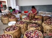 闽西水果之乡——连城四堡万亩芙蓉李熟了