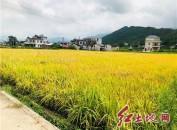 中科院院士谢华安到福建武平县调研优质稻生产