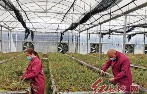 连城县铁皮石斛生产基地疫情防控与春季生产两不误