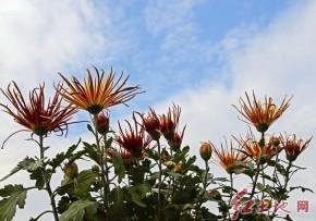 福建龙岩菊展上的菊花(龙月娥  摄影)